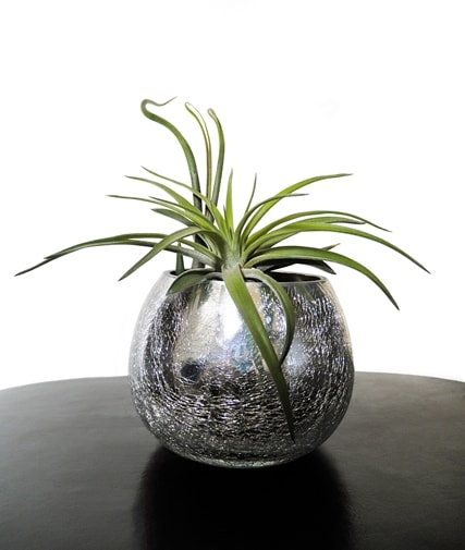 Tillandsia - plante care absorb umezeala din camera